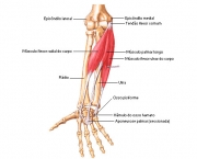 Flexor Radial do Carpo (6)