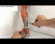 Flexor Radial do Carpo (10)