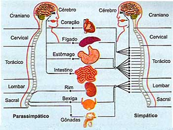 Sistema Nervoso Parassimpatico